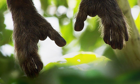 gorilla hands reaching from above with blurry jungle in background